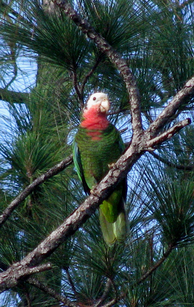Bah_Parrot_May_10__09_Abaco-1-1.JPG
