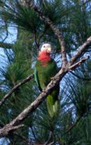 SM-Bah-Parrot-May-10_-09-Abaco-1-1.jpg
