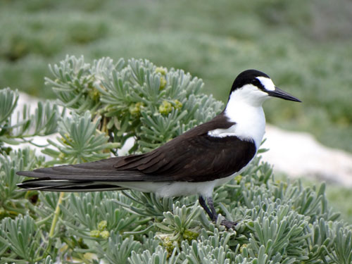 Sooty-Tern.jpg