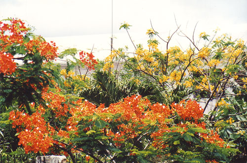 The Red Orange Flowers And Rare Yellow Variety Of July Tree In A Yard St Martin Hnp Photo