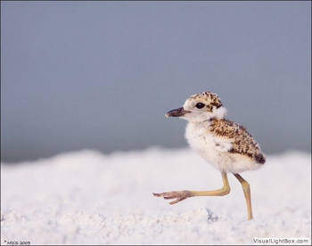 wilsons_plover_chick_marching_1405.jpg