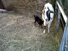 SM_goat.jpg