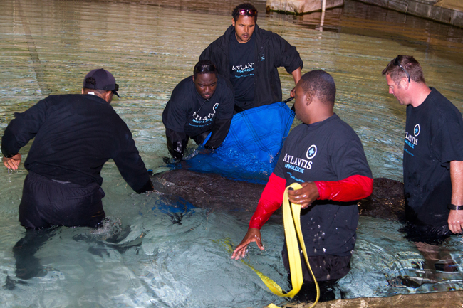 W-Georgie-the-manatee-is-placed-into-a-medical-pool-at-Dolphin-Cay.jpg