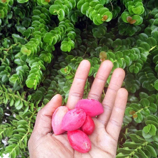 Natal-plum.jpg