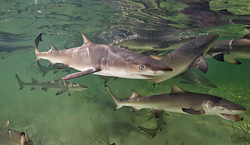 Sm-Lemon-sharks-in-Bimini_Credit-Matt-Potenski.jpg