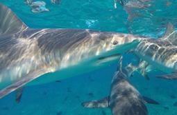 S-sharky.jpg