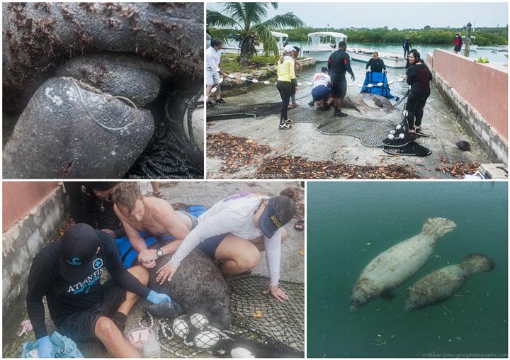 Manatee-Rescue-Bahamas.jpg