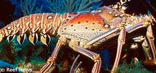 S-Spiny-Lobster.jpg