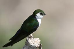 S-Violet-green-swallow.jpg