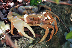 S-andros-crab.jpg