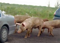 Sm-Pigs.jpg