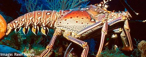 Spiny_Lobster.jpg