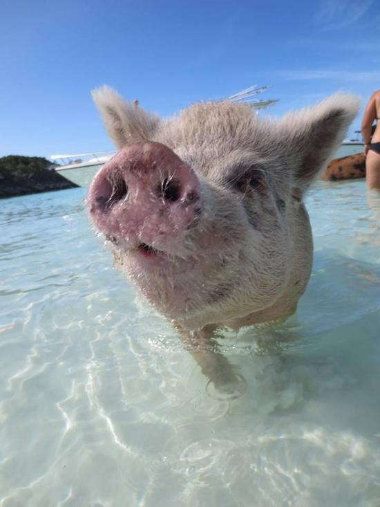 TBW-Pigs3.jpg