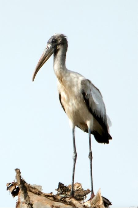 Wood-Stork.jpg