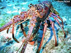 s-Caribbean_spiny_lobster.jpg