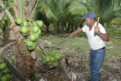 s-Young-Mr.-Bowe-Cuts-Coconuts.jpg
