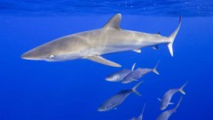 Sm-shrk_silky_sharks_swimming_raw_lw_rm_20853_16x9.jpg
