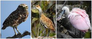 3-Birds-owl-duck-spoonbill_1.jpg
