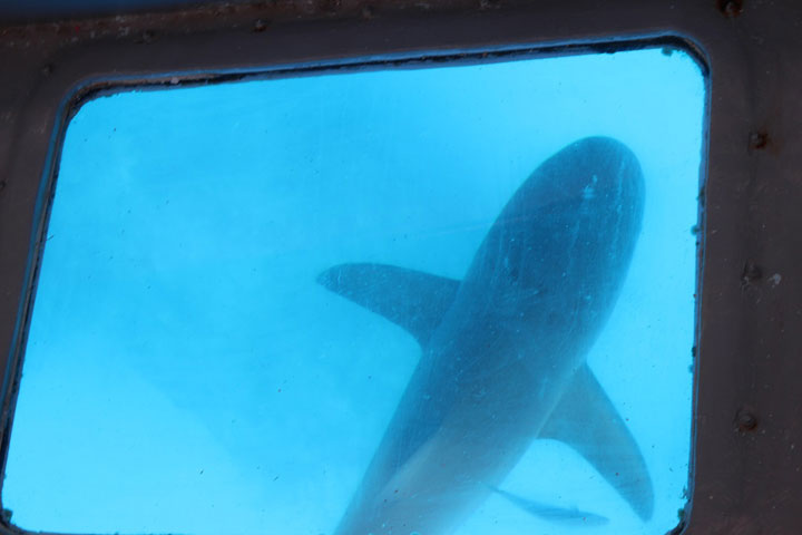 Shark-viewed-from-the-Glassbottom----Boat-glass-panel.jpg