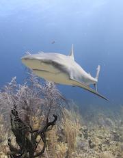 Sm-Shark-Pew.jpg