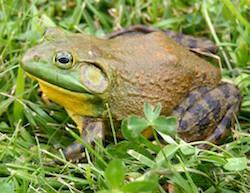 bullfrog-story.jpg