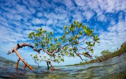 mangrove-SM.jpg