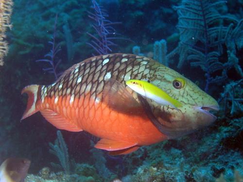 ParrotFish2.JPG