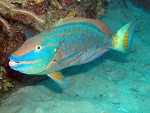 ParrotFish_copy.jpg