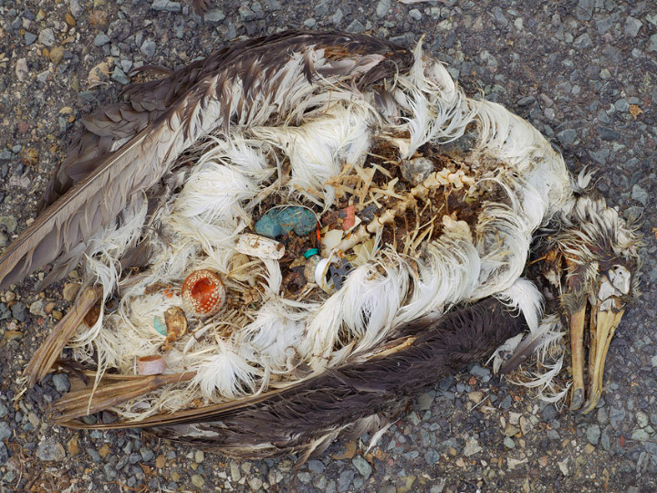 Dead_Seabird_with_a_gut_full_of_____plastic_pieces.jpg