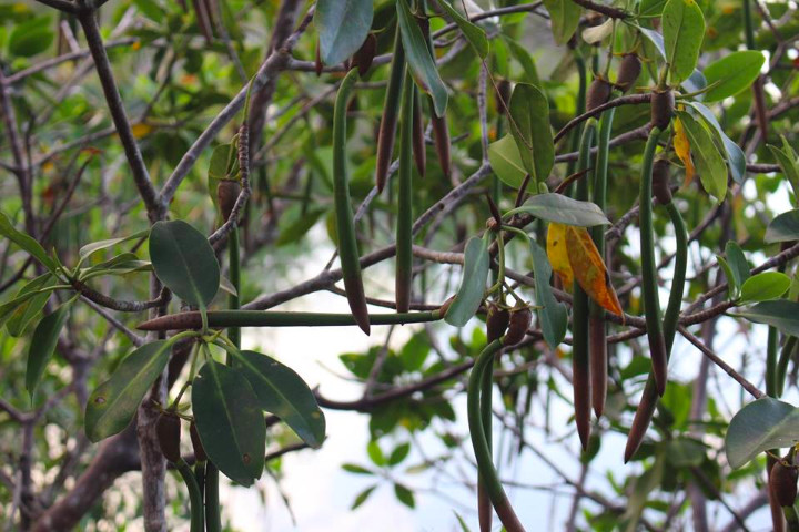 Healthy_Mangroves_with_propagules___________dangling_in_Queens_Cove_2.jpg