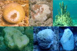 1_BNT_-_Disease_Infected_Grand_Bahama_Corals_1.png