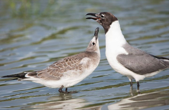 A_pair_of_Laughing_Gulls.jpg