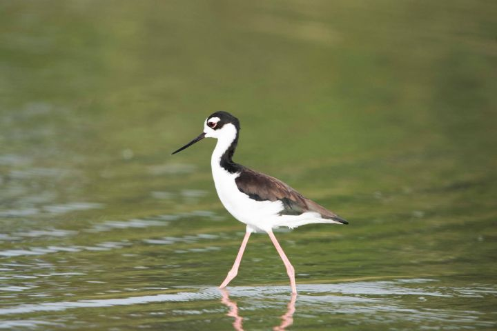 Black-Necked_Stilt.jpg