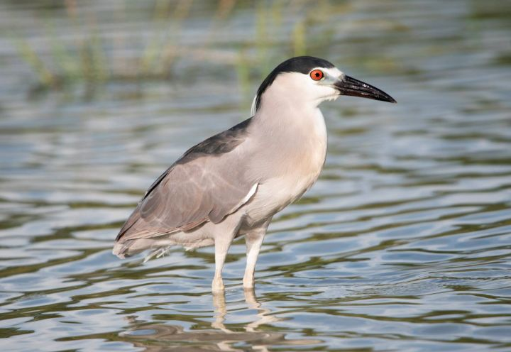 Black_Crowned_Night_Heron.jpg