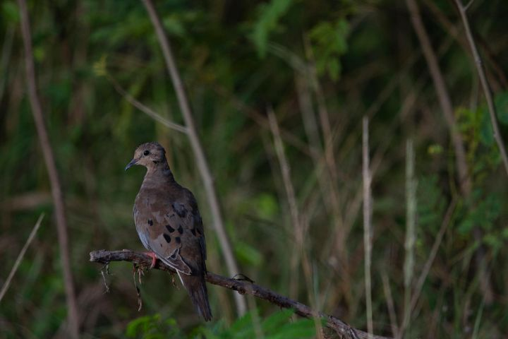 Mourning_Dove.jpg