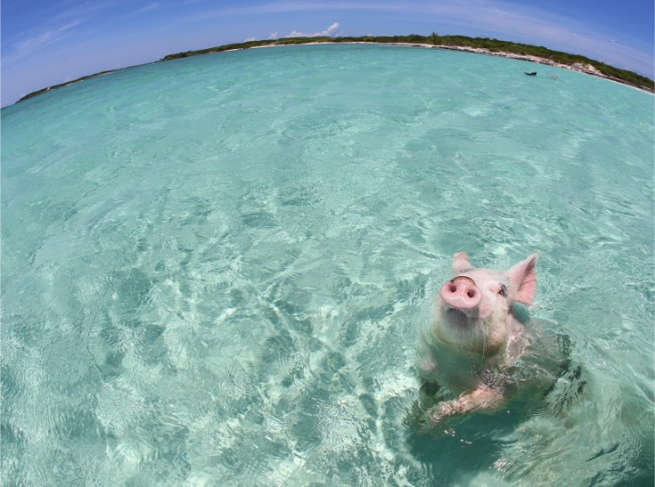 Pigs_of_Paradise_3.jpg