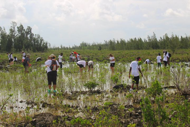 Planting_mangroves__a_joint_project__________between_The_Bahamas_and_China