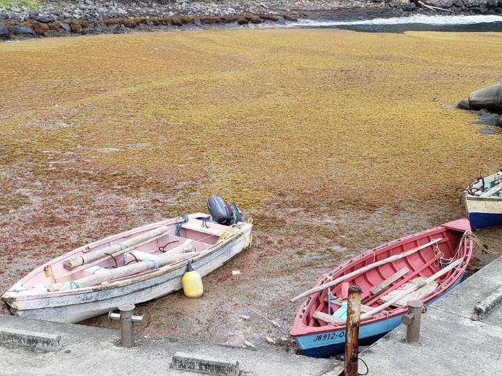 Sargassum_inundation_--_seen_here_in_Saint_Vincent_and_the_Grenadines_--_continues_to_affect_countries_across_the_Caribbean.jpg