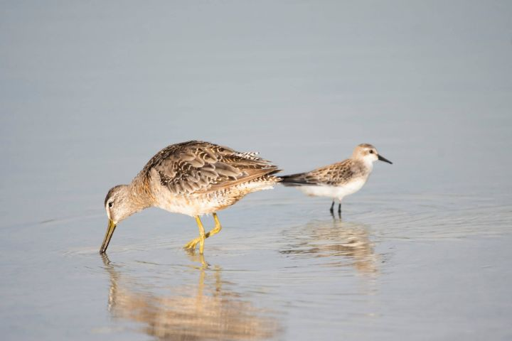 Short_Billed_Dowitcher_flanked_by_a_Sandpiper.jpg