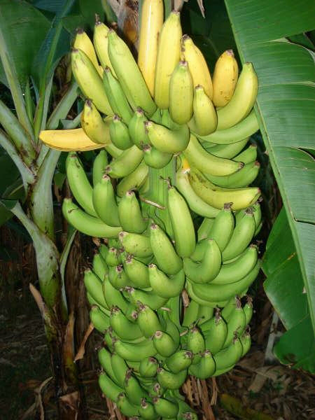 backyardbananas_1_.jpg
