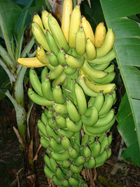 backyardbananas_1_small.jpg