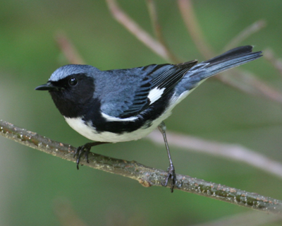 BirdingBTBW01.png