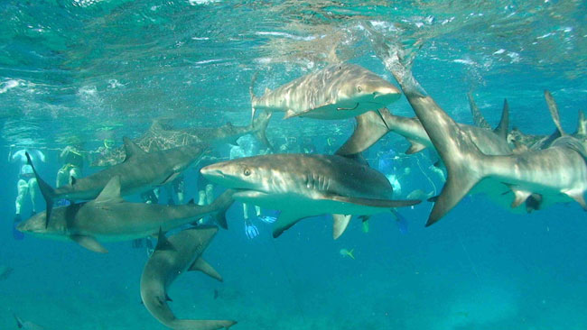 Caribbean-reef-sharks-at-Triangle-Rocks_-Bimini.jpeg.jpg