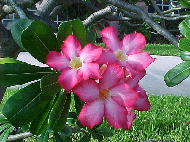 Thebahamasweekly beautiful but poisonous plant mightylinksfo