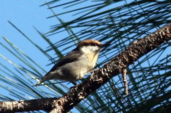 Brown-headedNuthatch.jpg