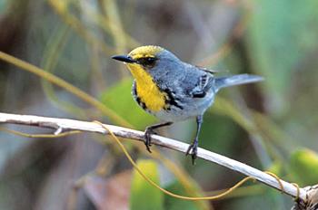 olivecapped-Warbler.jpg
